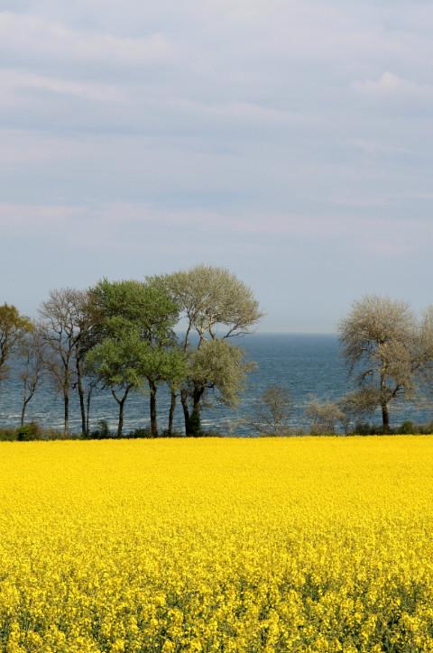 Rapsfeld und Ostseeküste